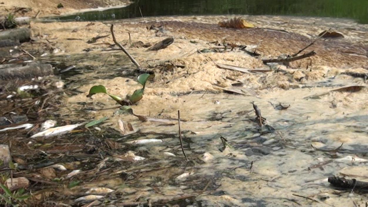 Cá tôm trên sông Âm chết hàng loạt hồi tháng 1. Ảnh: Lam Sơn.