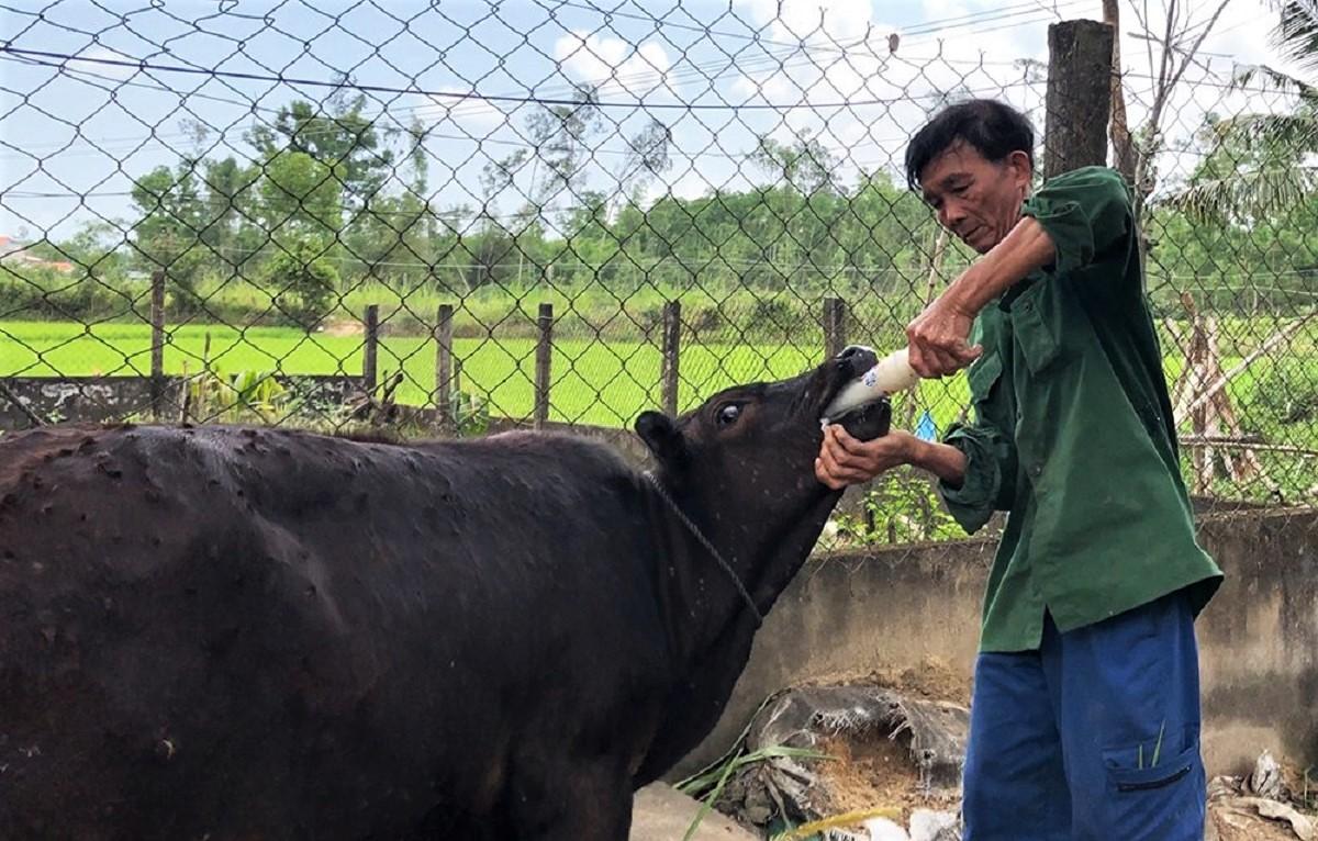 Ông Sen nấu cháo cho bò bị bệnh ăn để tăng sức đề kháng, lướt bệnh. Ảnh: Phạm Linh.