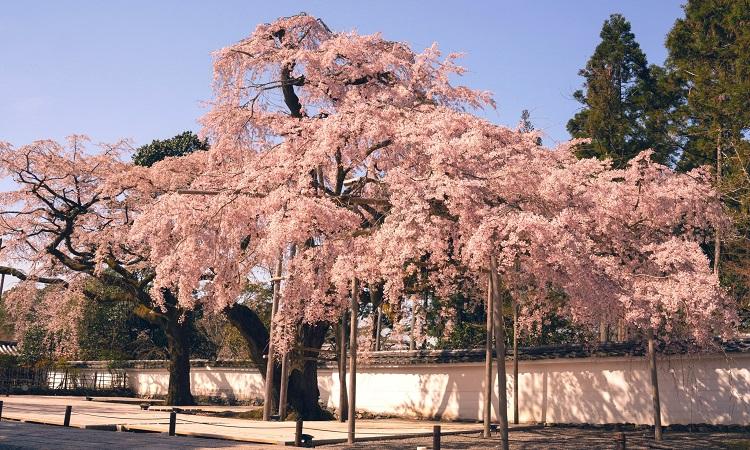 Hoa anh đào ở đền thờ Daigoji tại Kyoto. Ảnh: Twitter.