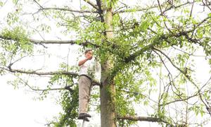 Kiếm hàng trăm triệu đồng một năm từ cây tầm gửi