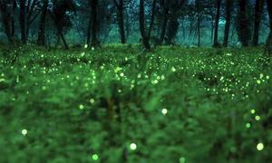 Đom đóm tạo ra 'bữa tiệc ánh sáng' trong khu bảo tồn