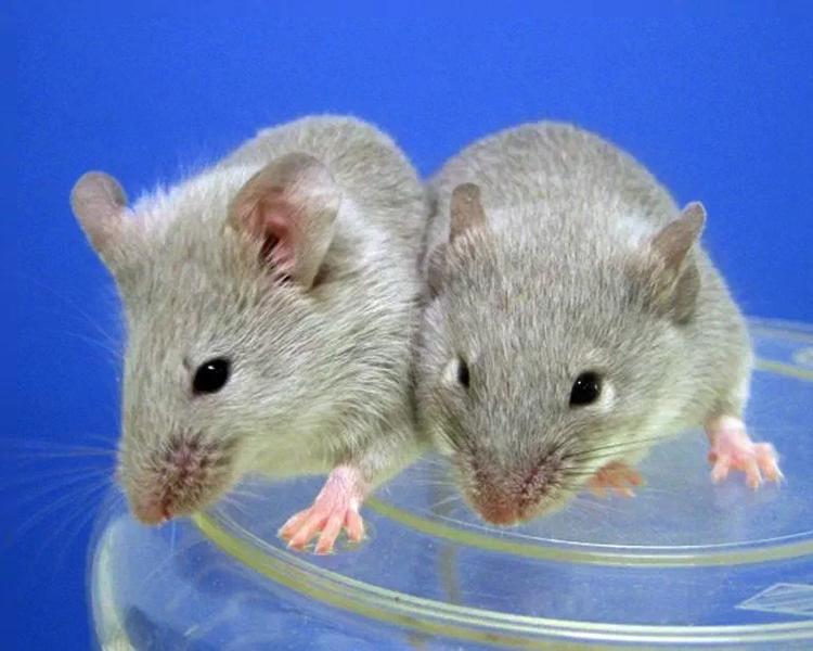 Căng thẳng khiến chuột sản sinh hormone làm gián đoạn chy kỳ tăng trưởng lông. Ảnh: AFP.