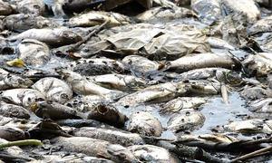 Cá chết hàng loạt sau cơn mưa trái mùa