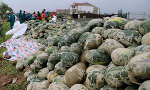 Người dân gom 20 tấn dưa văng xuống ruộng sau tai nạn