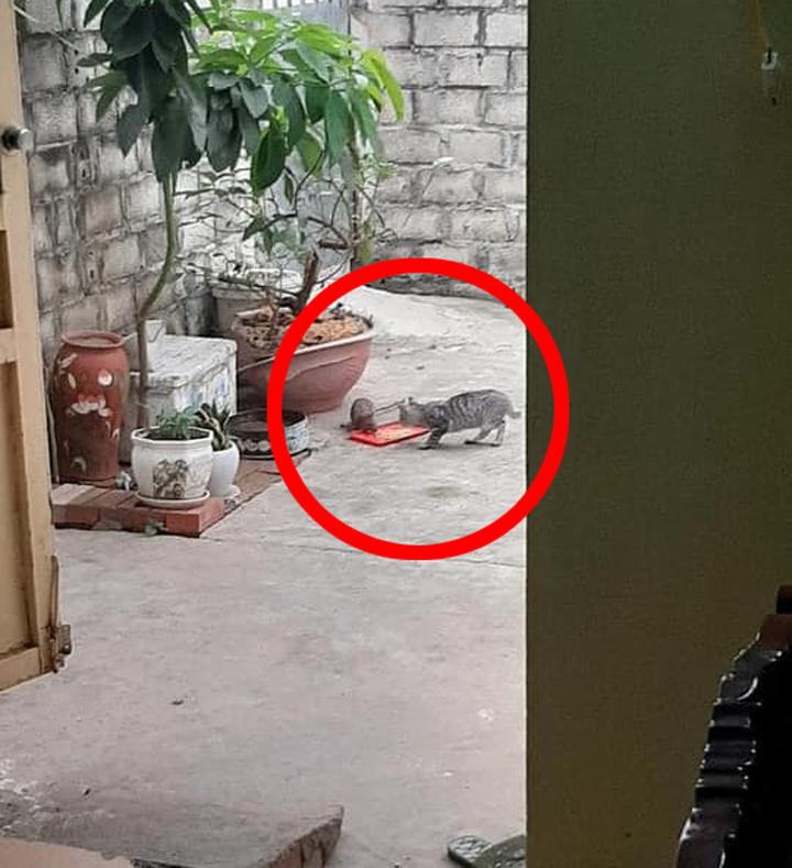 Mèo đang ăn ngon lành thì chuột xuất hiện...
