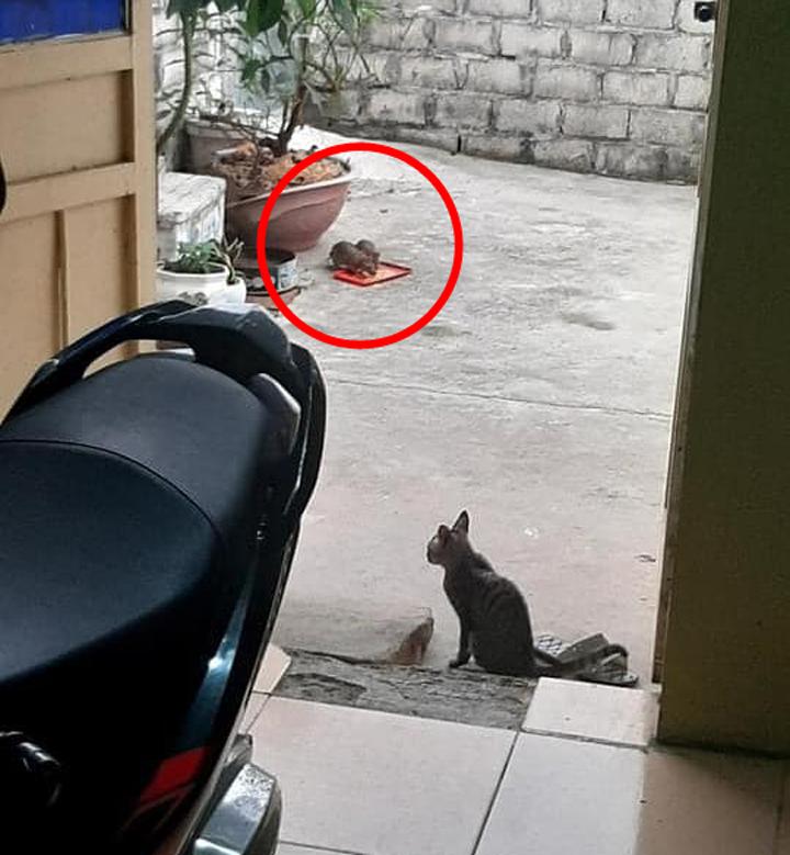 Mèo ngậm ngùi nhìn hai con chuột đánh chén thức ăn của mình.