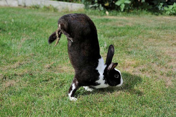 Dáng đi trồng cây chuối của thỏ Sauteur dAlfort. Ảnh: PLOS Genetics.
