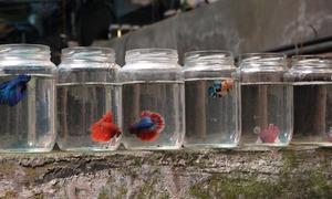 Nuôi cá chọi trong nghìn chai thủy tinh phế liệu