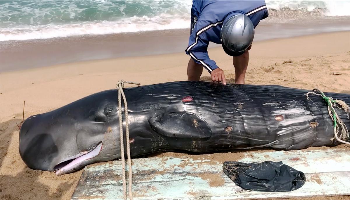 Cá voi màu đen bóng, dài hơn 3m, dạt vào bờ biển TP Tuy Hòa, sáng 6/4. Ảnh: Thiên Lý.