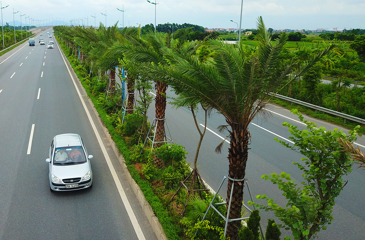 The tea tree is on the axis of Nhat Tan - Noi Bai.  Photo: Ba Do.
