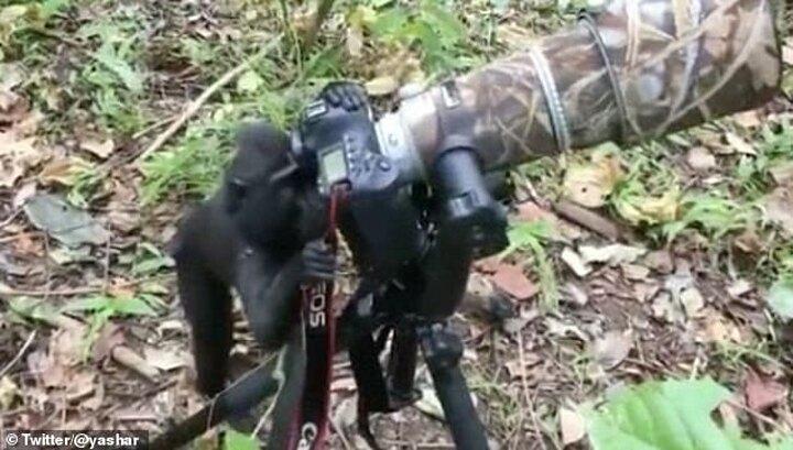 Khỉ trổ tài làm nhiếp ảnh gia