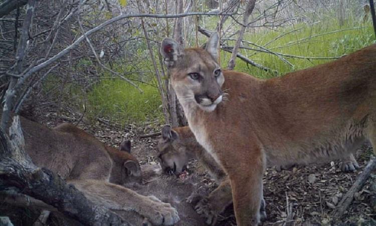 Sư tử núi mẹ trông chừng trong lúc các con ăn mồi ở California. Ảnh: Reuters.