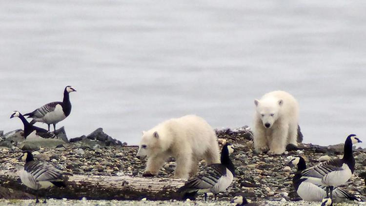 Gấu Bắc Cực chuyển sang ăn trứng chim do thiếu thức ăn. Ảnh: Jouke Prop.