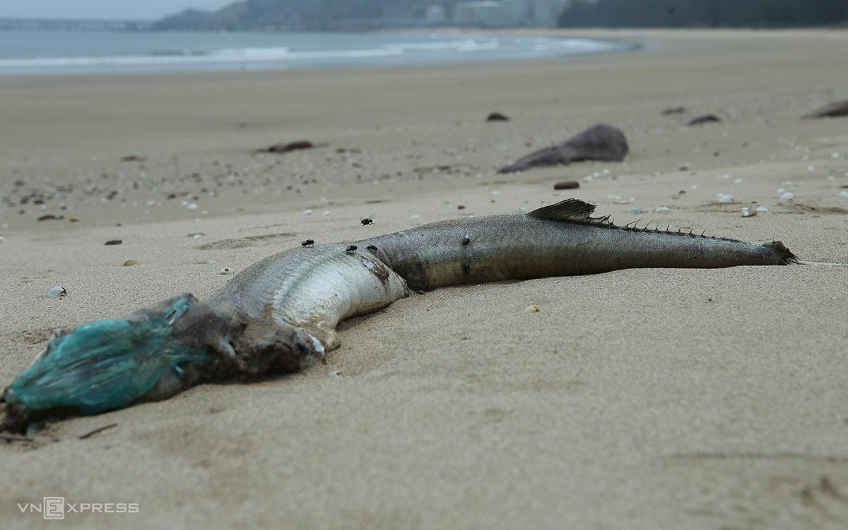 Xác một con cá nhoái nặng hơn 1 kg ở biển Nghi Thiết, trưa 7/4. Ảnh: Nguyễn Hải