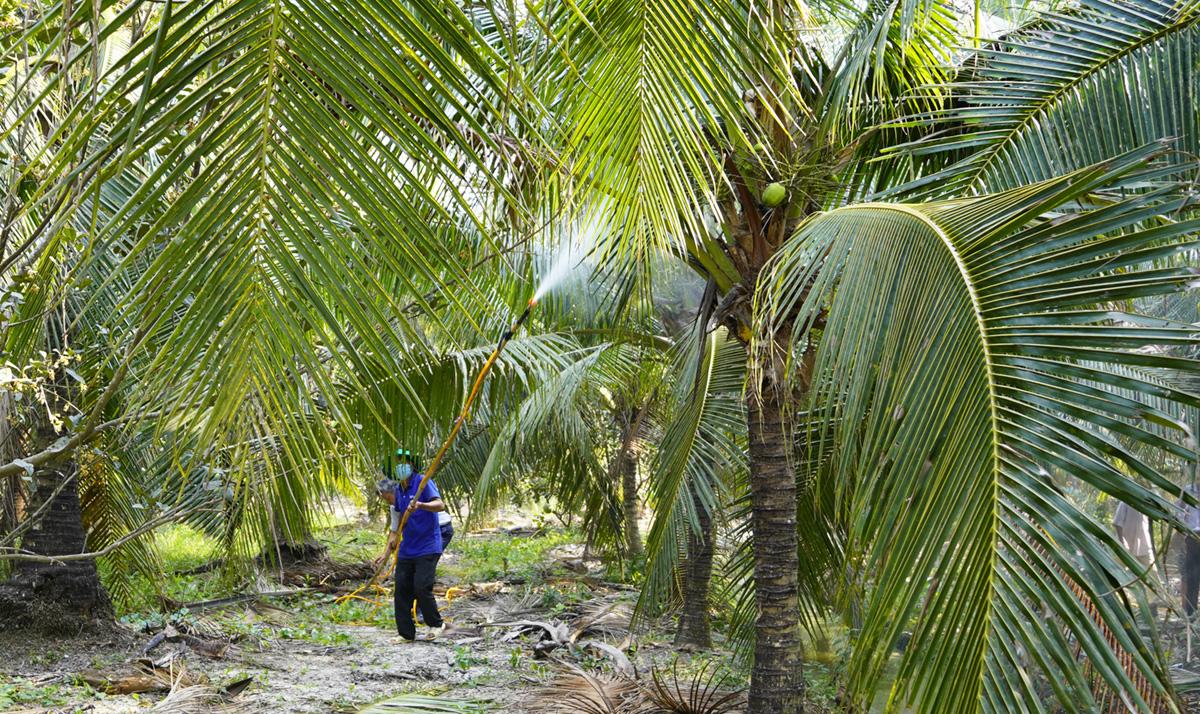 Phun chế phẩm từ thực vật diệt sâu đầu đen tại vườn dừa xã Hữu Định hồi cuối tháng 3. Ảnh: Hoàng Nam
