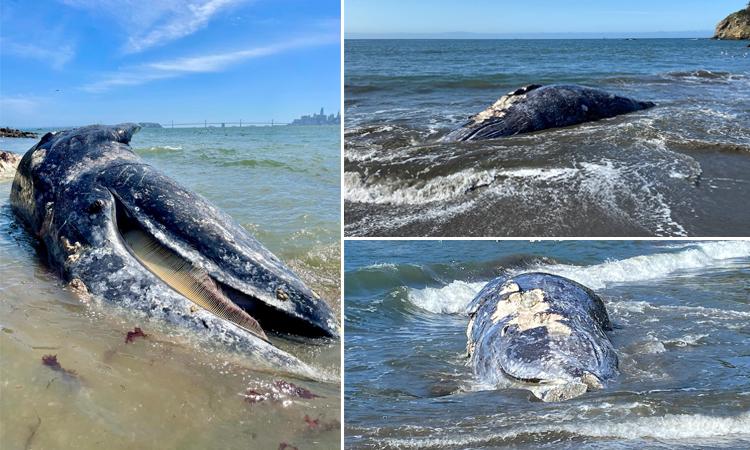 Xác cá voi liên tục dạt vào vịnh San Francisco kể từ ngày 31/3. Ảnh: Reuters.
