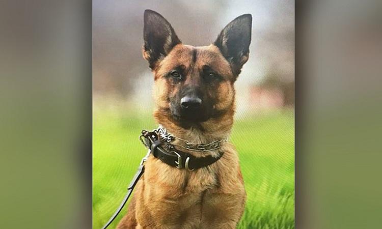 Argo là cảnh khuyển ở Sở cảnh sát Fresno. Ảnh: Facebook.