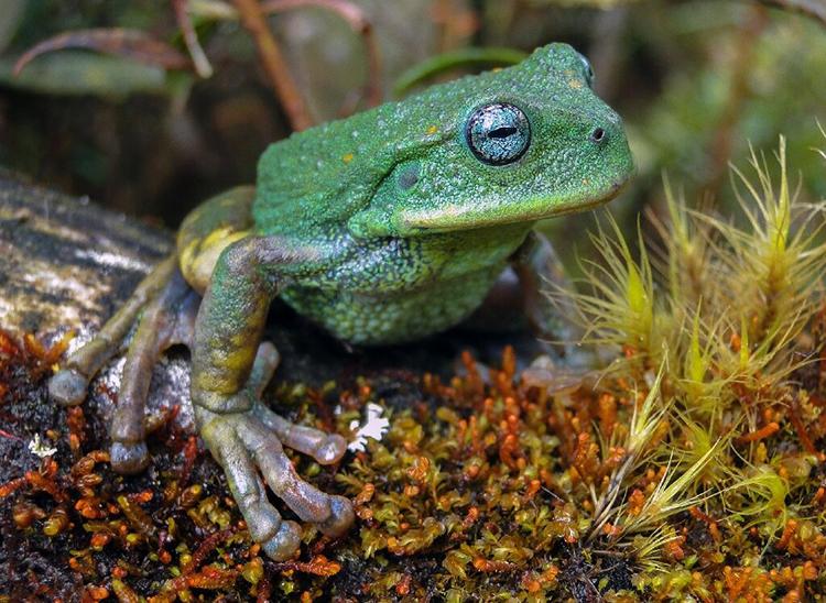 Loài nhái túi mới được phát hiện ở Cordilleras Colan, Peru. Ảnh: Novataxa.