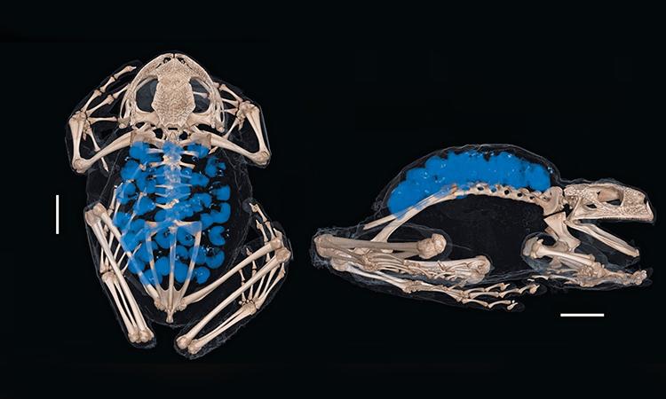 Ảnh CT scan cho thấy cấy trúc xương và phôi trứng bên trong túi ấp của G. gemma. Ảnh: Novataxa.