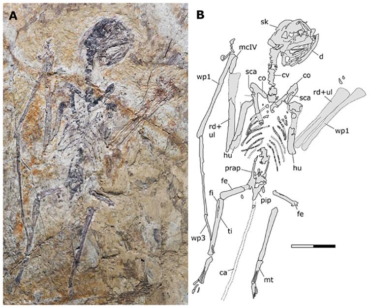 Hóa thạch Sinomacrops bondei với hộp sọ gần như nguyên vẹn. Ảnh: Zhao Chuang.