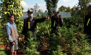 Gần 2.000 cây cần sa trồng trong vườn cà phê