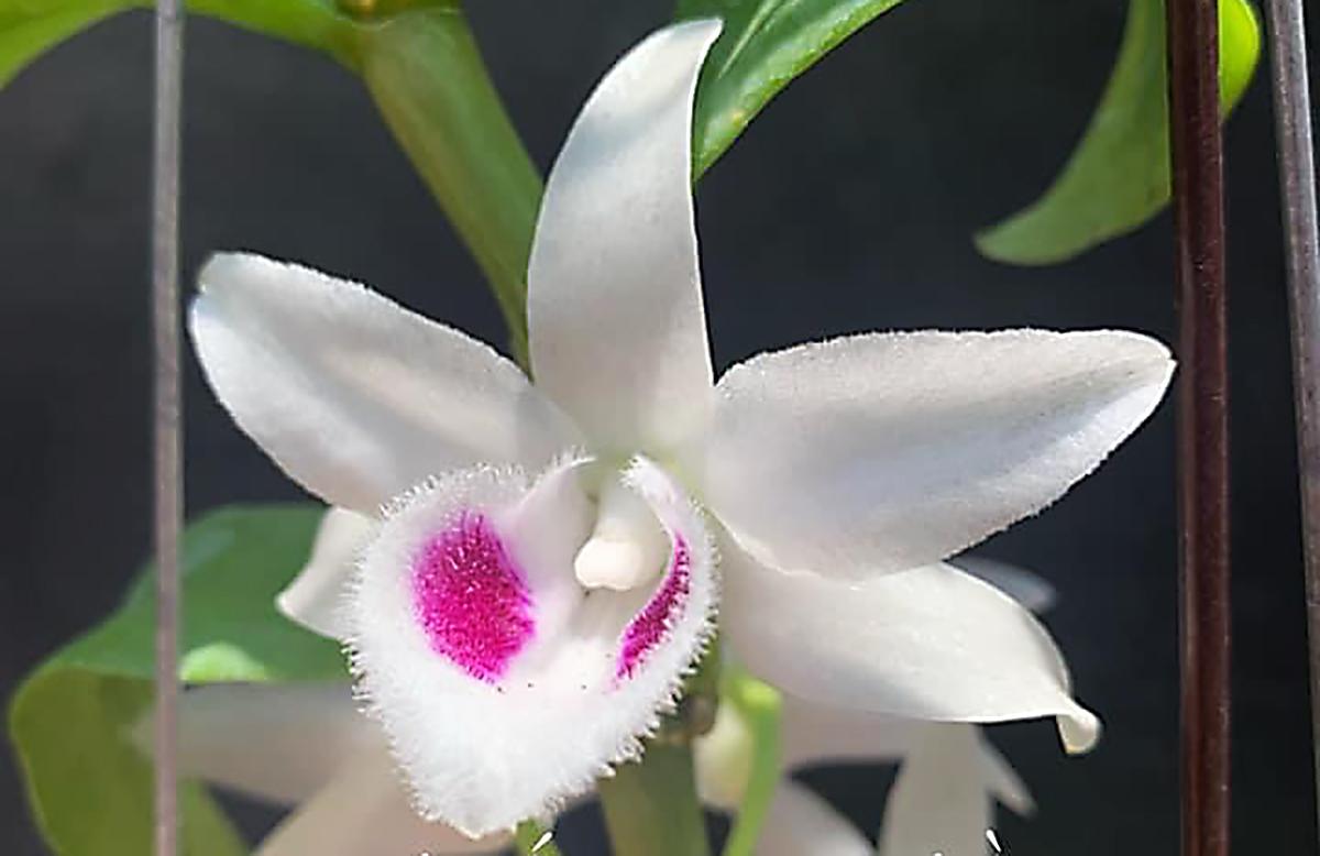 Bông hoa lan phi điệp được cho là đột biến, được đặt tên năm cánh trắng Bạch Tuyết. Ảnh: V.T.