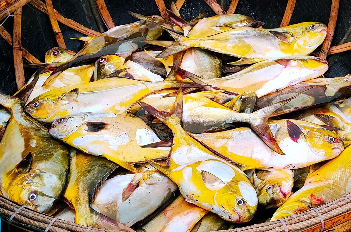 Cá chim vàng bán 300.000 đồng một kg. Ảnh: Hương Thành