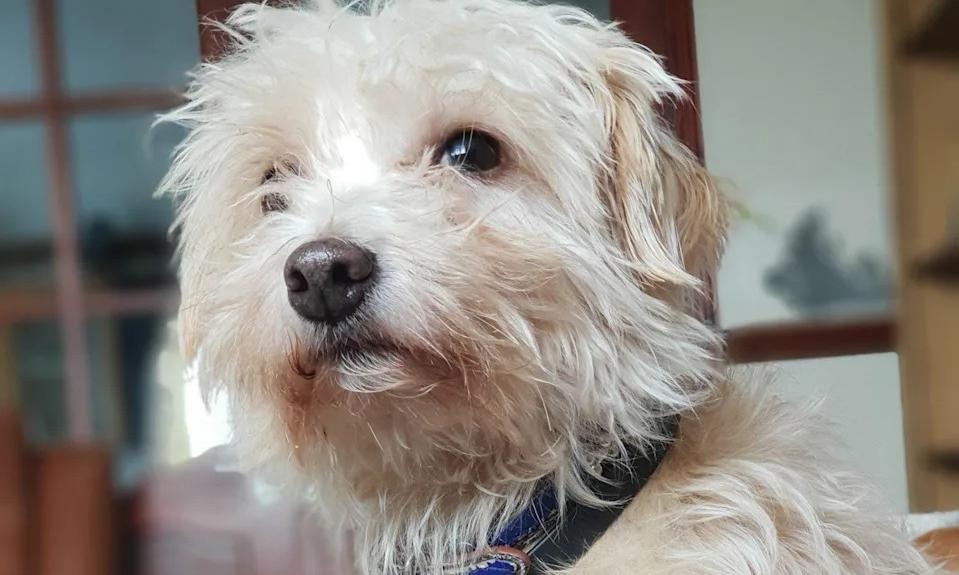 Russell, chú chó 5 tuổi cứu chủ thoát chết. Ảnh: Joy Hodgson