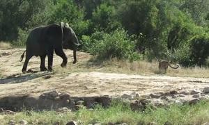 Đàn voi đuổi báo hoa mai để độc chiếm hồ nước