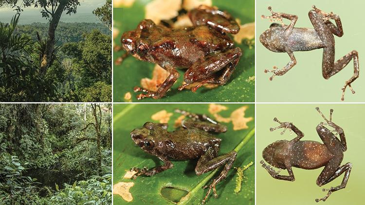 Sự khác biệt màu sắc giữa ếch Pristimantis  sira đực (hàng dướ) và cái (bên trên). Ảnh: Germán Chávez.