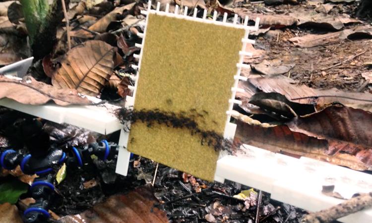 Đàn kiến tự phối hợp tạo thành cấu trúc an toàn để đi qua bề mặt dốc. Ảnh: Đại học Macquarie.