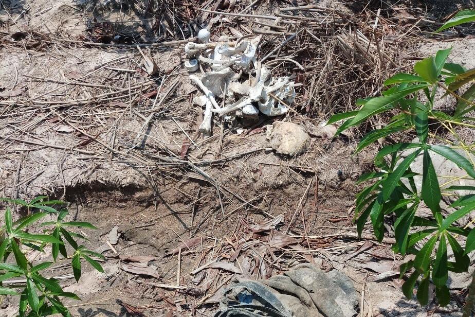 Bộ xương người được phát hiện trong rẫy mì ở xã Tân Hải, ngày 26/4. Ảnh: Đức Huynh.