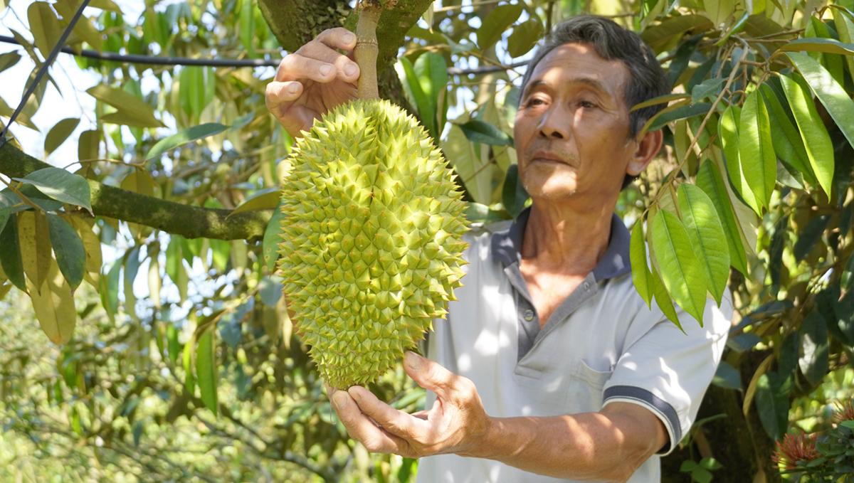 Ông Huỳnh Hữu Lộc bên những cây sầu riêng dự kiến thu hoạch trễ vào đầu tháng 3 âm lịch, do ảnh hưởng hạn mặn năm ngoái, ông phải tốn thêm 300 triệu đồng để phục hồi vườn sầu riêng. Ảnh: Hoàng Nam