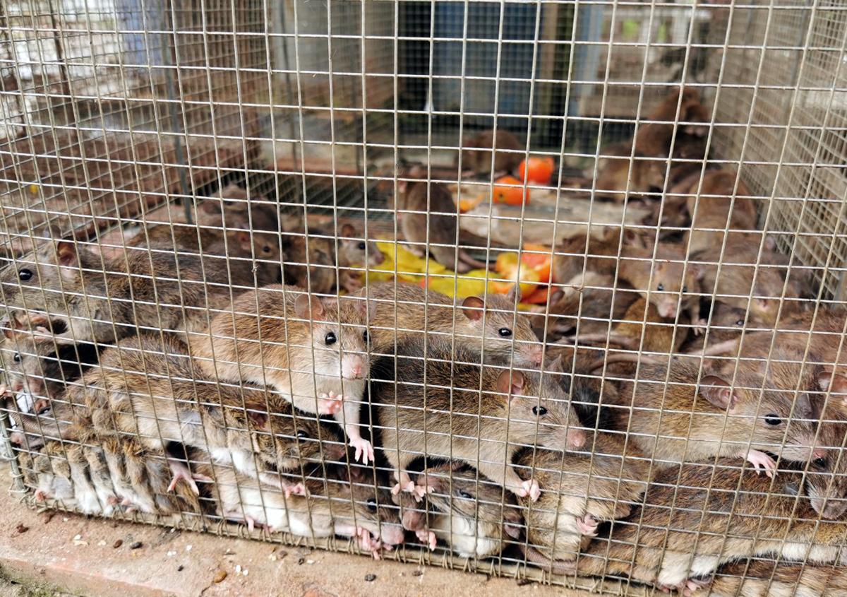 Chuột đồng tại Cần Thơ có giá 80.000-100.000 đồng mỗi kg. Ảnh: Cửu Long