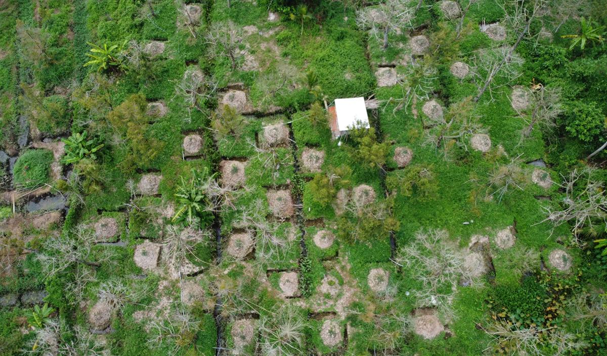Một góc vườn sầu riêng 6.500 m2 của ông Lê Văn Thôi cây rụng lá chết hết, cành bạc trắng. Ảnh: Hoàng Nam