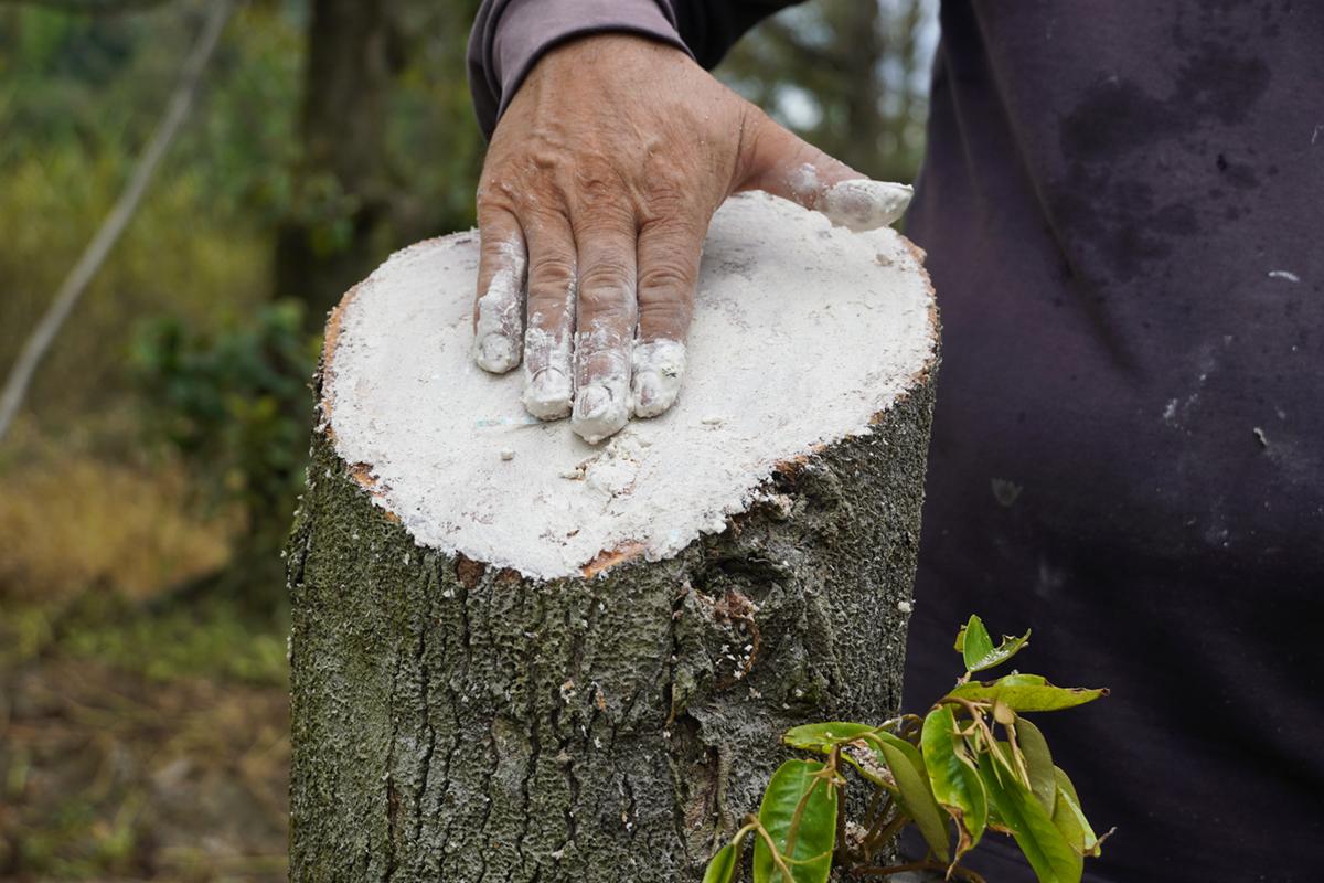 Ông Nguyễn Văn Phước dùng vôi bôi bề mặt một gốc sầu riêng mới cưa, hy vọng các chồi non sẽ hồi sinh. Ảnh: Hoàng Nam