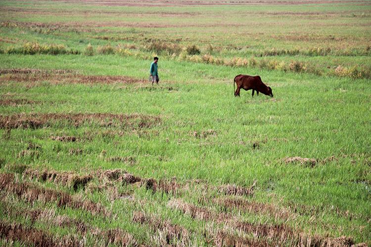Ruộng vẫn chưa ngập lũ, được người dân chăn thả trâu bò. Ảnh: Hoàng Nam