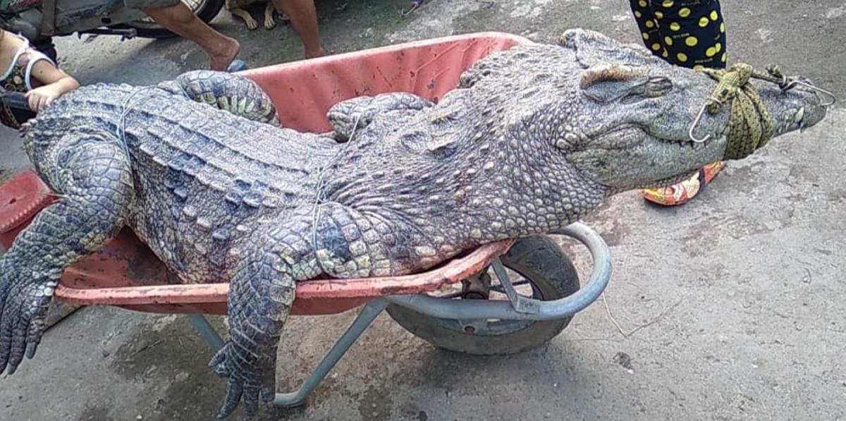 Con cá sấu dài 2,5 m bị anh Thanh chích điện bắt. Ảnh: Thị Tuyết.