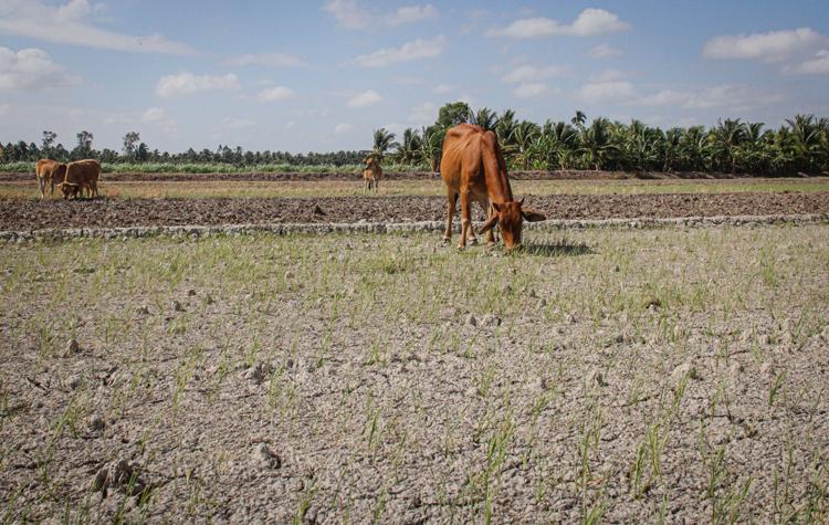 Ruộng lúa chết vì hạn mặn ở xã Long Đức, huyện Long Phú, Sóc Trăng. Ảnh: Huy Phong. Ảnh: Cửu Long.