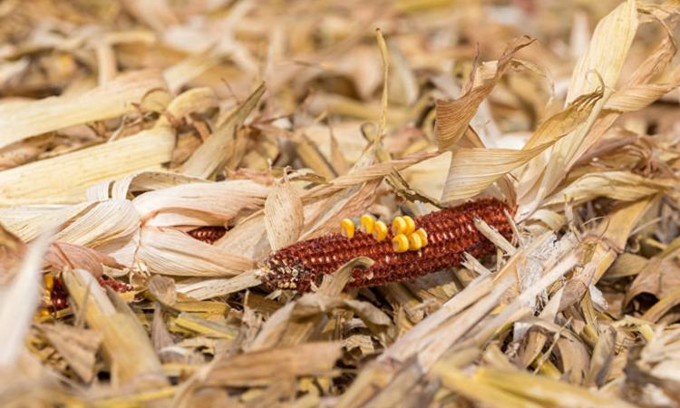 Phế phẩm ngô là một trong những loại chất thải sinh học dồi dào nhất ở Mỹ. Ảnh: Makin Hay.