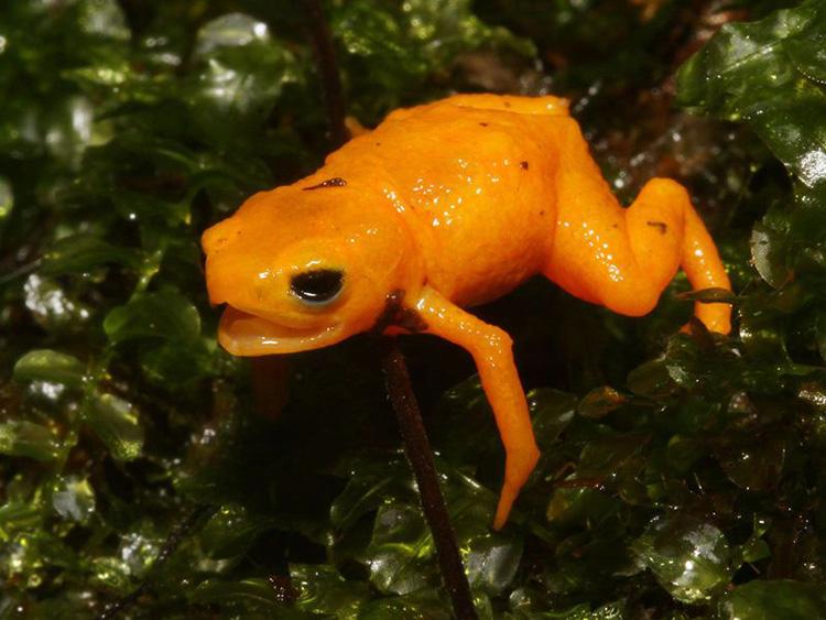 Mẫu vật B. rotenberga trong tư thế phòng thủ được tìm thấy trên dãy Mantiqueira. Ảnh: Edelcio Muscat.