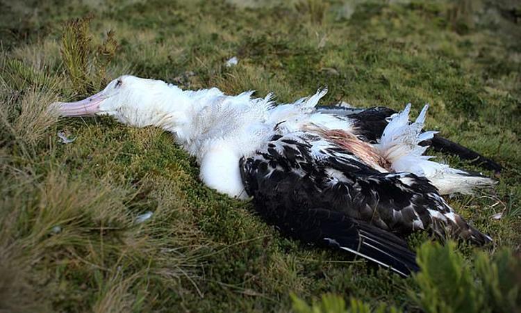 Hải âu Tristan trưởng thành trên đảo Gough bị chuột ăn thịt. Ảnh: RSPB.