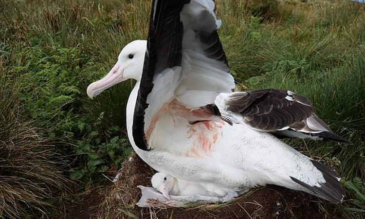 Trước khi bị chuột giết chết, hải âu mẹ vẫn chăm sóc con non. Ảnh: RSPB.