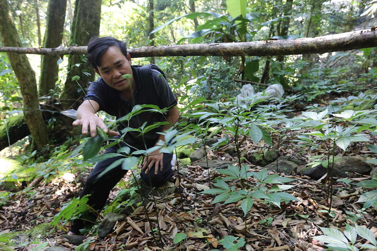Ông Lê Thanh Ân kiểm tra từng cây sâm Ngọc Linh. Ảnh: Đắc Thành.