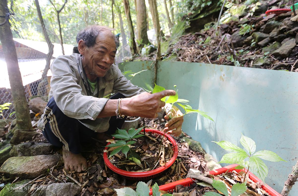 Ông Định Văn Thà bên cây sâm hơn 5 tuổi đang cho hoa. Ảnh: Đắc Thành.