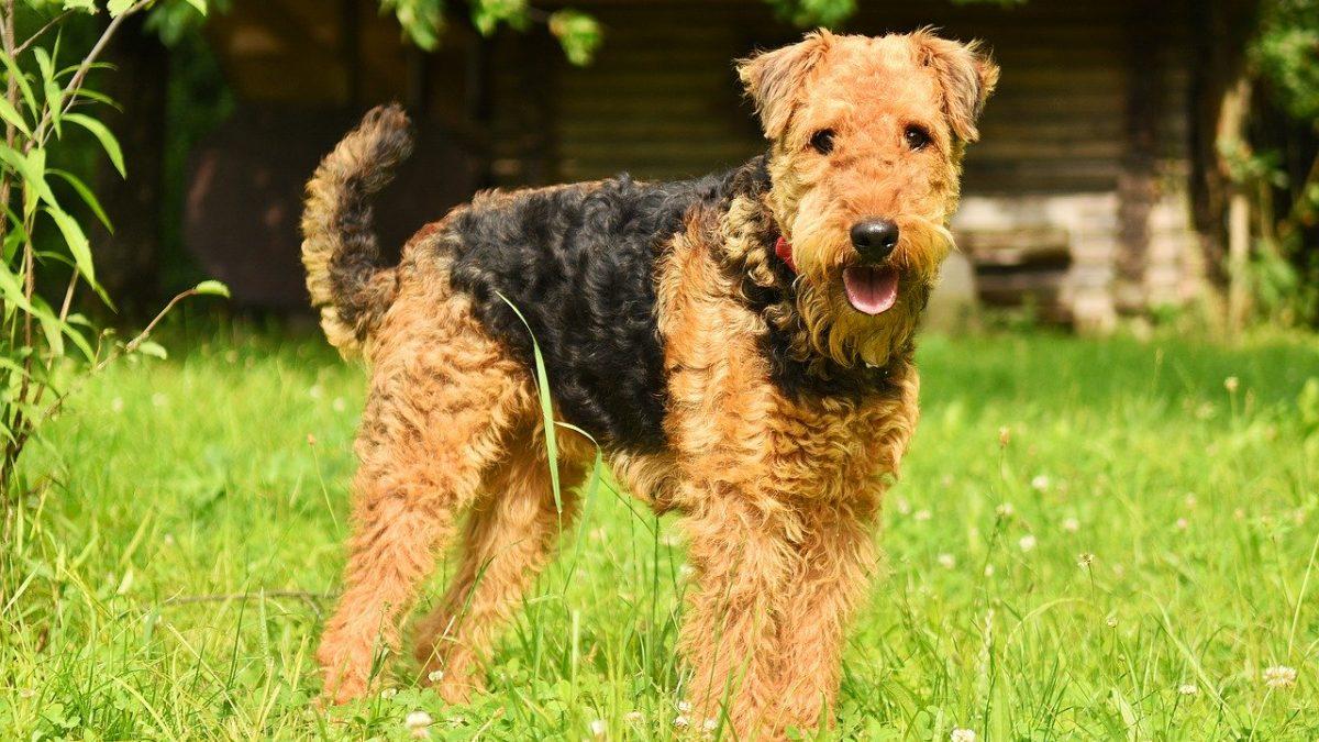 Airedale Terrier là một giống chó săn. Ảnh: Rover.