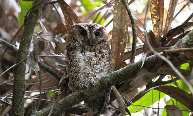 Bức ảnh đầu tiên chụp cú mèo Rajah phân loài Borneo trong tự nhiên. Ảnh: Andy Boyce.