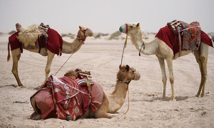 Một đoàn lạc đà trên sa mạc UAE. Ảnh: Reuters.