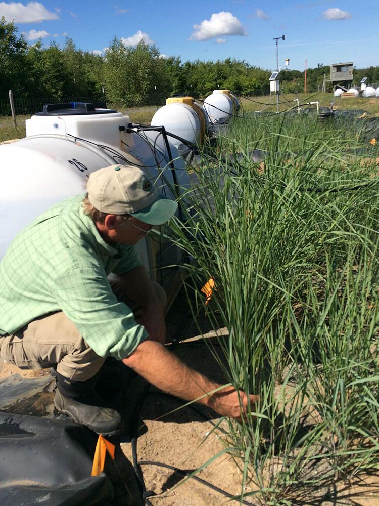 GS. Neil Bruce đang lấy mẫu cỏ biến đổi gene trồng trên đất ô nhiễm. Ảnh: Đại học York.