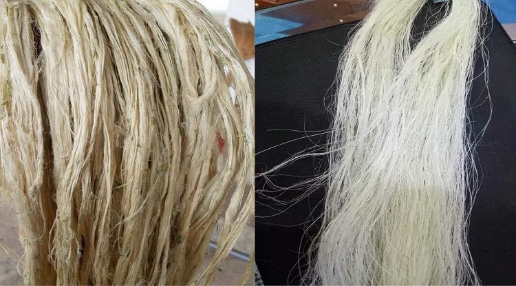 Sợi dứa được tách từ lá (trái), sau đó được xử lý để sợi tơi và trắng hơn. Ảnh: NVCC.